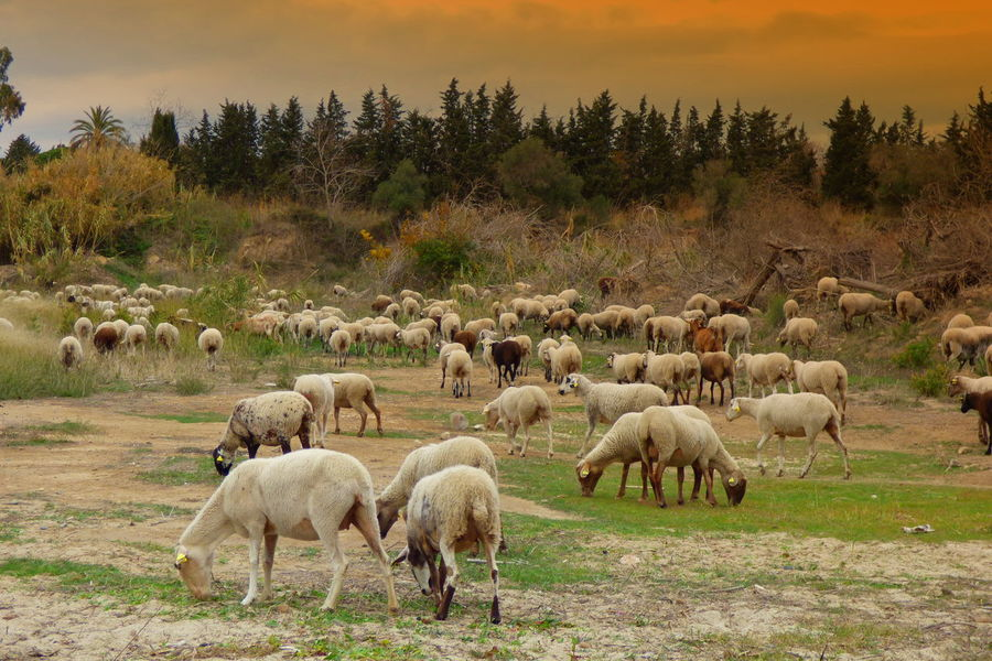 Animal Themes Beauty In Nature Day Domestic Animals Field Flock Of Sheep Flock Of Sheeps Grass Grazing Landscape Large Group Of Animals Livestock Mammal Nature No People Outdoors Scenics Sheep Sky Tree