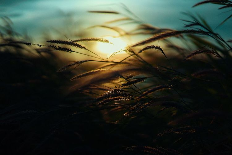 Close-up of grass against sky during sunset