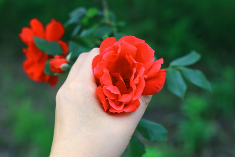 Macro Freshness EyeEmNewHere EyeEm Nature Lover Taking Photos Beauty In Nature Nature Outdoors Growth Green Color Red Rose - Flower Roses Human Body Part Hand Holding Human Hand Flower Head Flower Beauty Red Rose - Flower Petal Multi Colored Peony  Close-up This Is My Skin #FREIHEITBERLIN