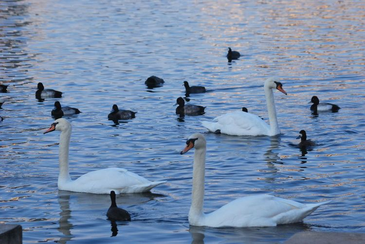Bird Lake Animal Themes Animal Wildlife Animals In The Wild Beauty In Nature Bird Day Lake Large Group Of Animals Nature No People Outdoors Swan Swimming Water