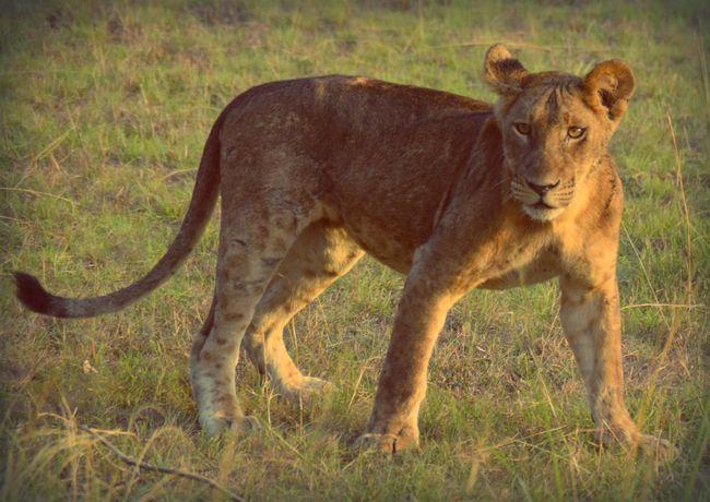 Lion Nature Wildlife Africa Uganda  Beautiful
