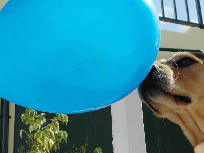 Close-up of dog against blue ball