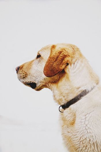 Dog Pets Domestic Animals One Animal Mammal White Background Animal Themes No People Close-up Indoors  Day Labrador Labrador Retriever Golden Labrador Dog Portrait Dog Head Shot Canine Profile Minimalism