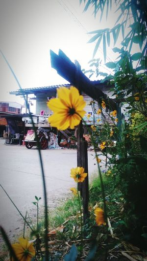 Get home n relax~~~ what do you see? Cosmos Flowers Yellow Flower Yellowcosmos Myhappiness💘 Myhome Relaxing