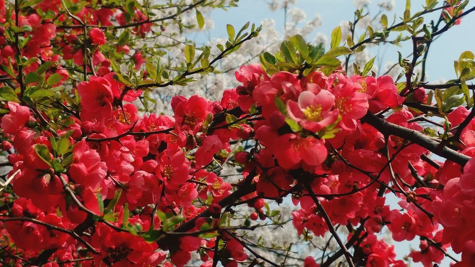 명자나무Japanese Quince SpringtimeRed Growth Flower Nature Beauty In Nature Freshness No People Fragility Plant Outdoors Tree Close-up Day Flower Head