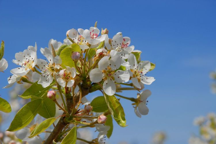 Pear tree blossom against blue sky with copy space Pear Blossoms Pear Tree In Blossom Pear Blossom Flower Flowering Plant Plant Growth Freshness Fragility Beauty In Nature Vulnerability  Sky Blossom Springtime Petal Close-up Tree White Color Nature Clear Sky Flower Head Low Angle View Twig