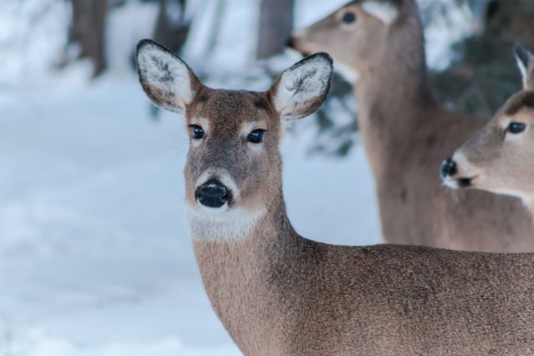 Shades Of Winter The Week on EyeEm Wildlife Photography Winter Wintertime Animal Themes Animal Wildlife Animals In The Wild Close-up Day Deer Doe Female Deer Focus On Foreground Looking At Camera Mammal Nature No People One Animal Outdoors Pack Of Deer Portrait White-tailed Deer Wildlife
