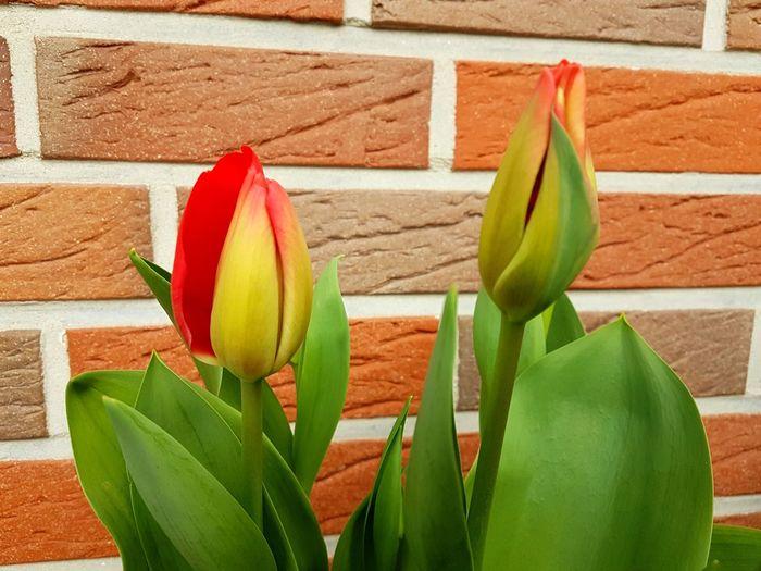 Tulipes. Close-up Flower Photography tulipe Tulips🌷 Flower