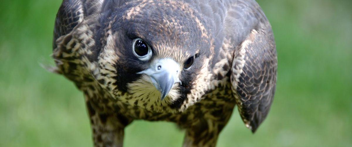 Portrait of peregrine falcon
