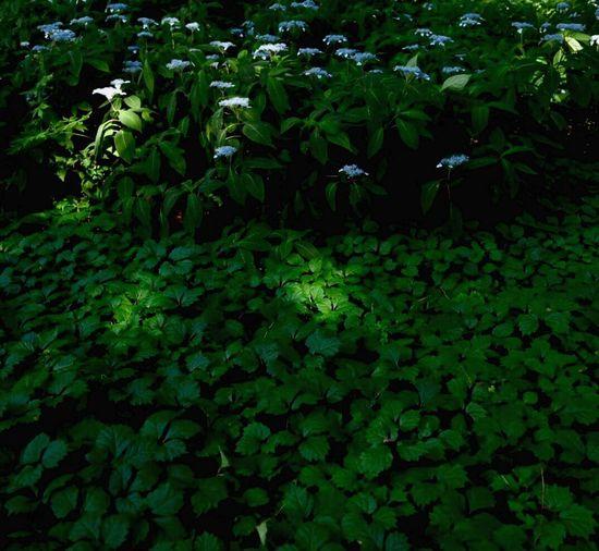 あじさい Matsumoto Nagano Japan Flowers 日の当たる場所 Flash & Shadow