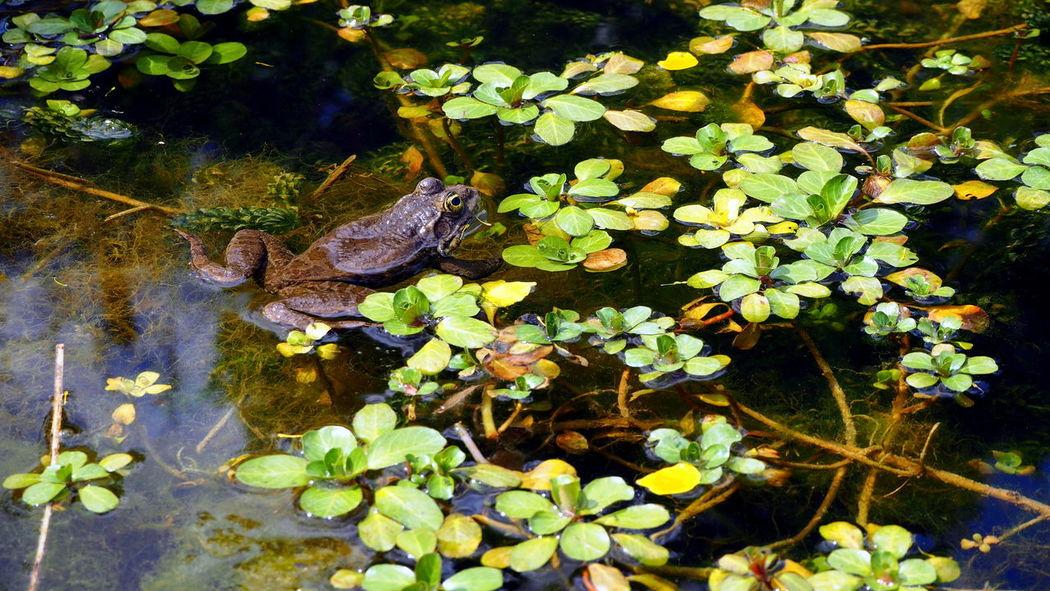 Floating On Water Focus Frog Garden Nature Nenuphar No Filter Plant