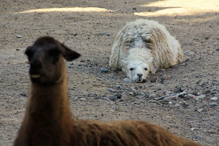 Portrait Of Lamas