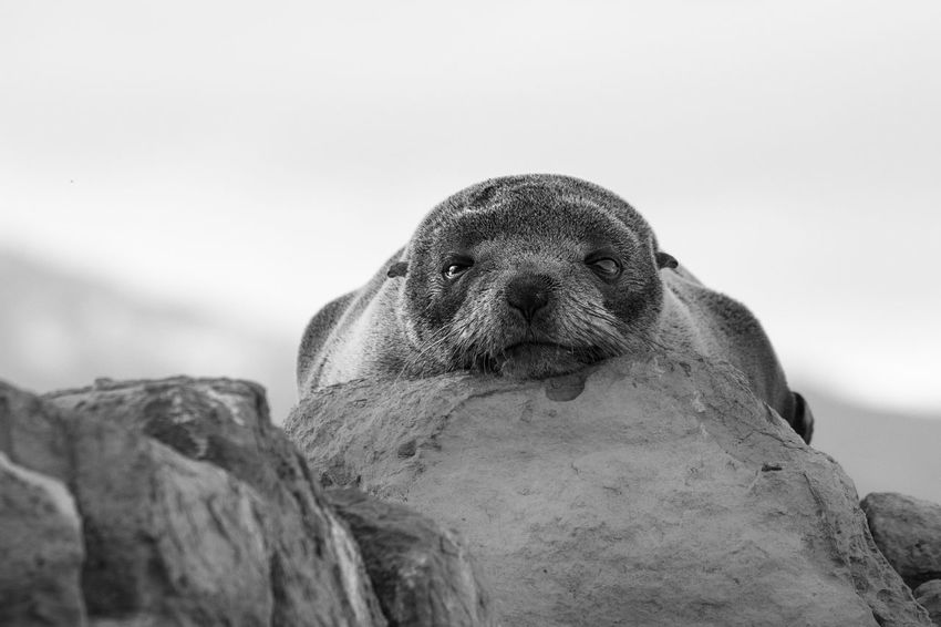 Young sea lion resting on a rock with eye-contact Ania Animal Head  Animal Themes B & W  Baby Black And White Blackandwhite Close-up Day Eye-contact Focus On Foreground Mammal Nature No People Outdoors Portrait Sea Lion Seelöwe Selective Focus Young Animal Animals Animal Photography Animals In The Wild Black And White Photography Black & White