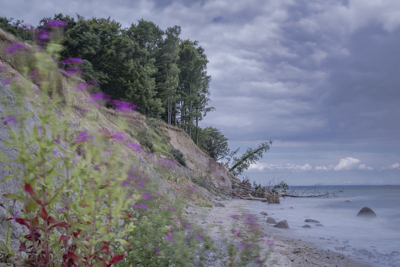 Cliff at the Baltic Sea. Baltic Sea Brodtener Ufer Beach Beauty In Nature Cloud - Sky Day Flower Flowering Plant Growth Land Motion Nature No People Outdoors Plant Purple Scenics - Nature Sea Sky Tranquil Scene Tranquility Tree Water