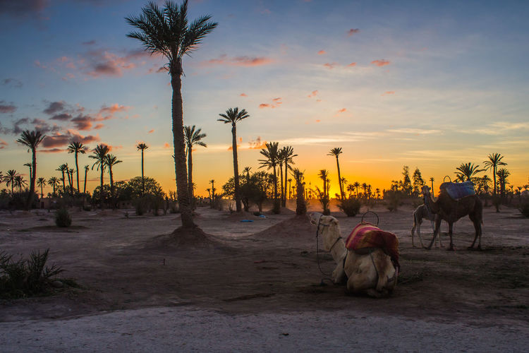 Camels Animals Blue Camel Camels Clouds Color Colors Desert Landscape Light Marrakech Marrakesh Morocco Nature Orange Palm Palms Sahara Sand Sun Sunset Travel Traveling Wild Yellow