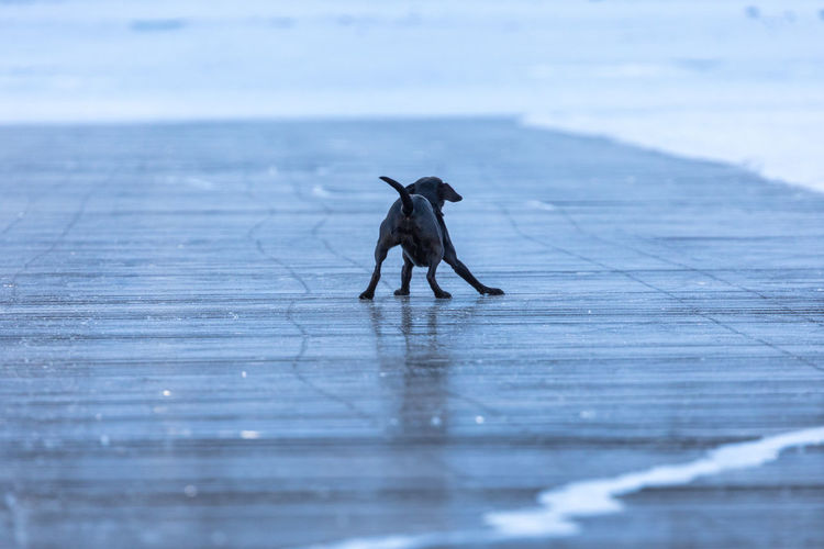 Animal Animal Themes Animal Wildlife Black Dog Black Ice Cold Cold Temperature Day Dog Domestic Animals European Alps Frozen Frozen Lake Ice Lake Mammal Nature No People One Animal Outdoors Pets Slippery Snow Water Winter