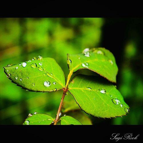 Rain Dew Leaf 朝露 しずく