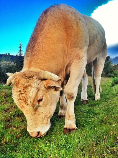 Grass Vicious #valledelLozoya #primavera #spring #mountain #ilovemountains #beforework #sunrise #amanecer #pnpeñalara  #bull #miradordelosrobledos