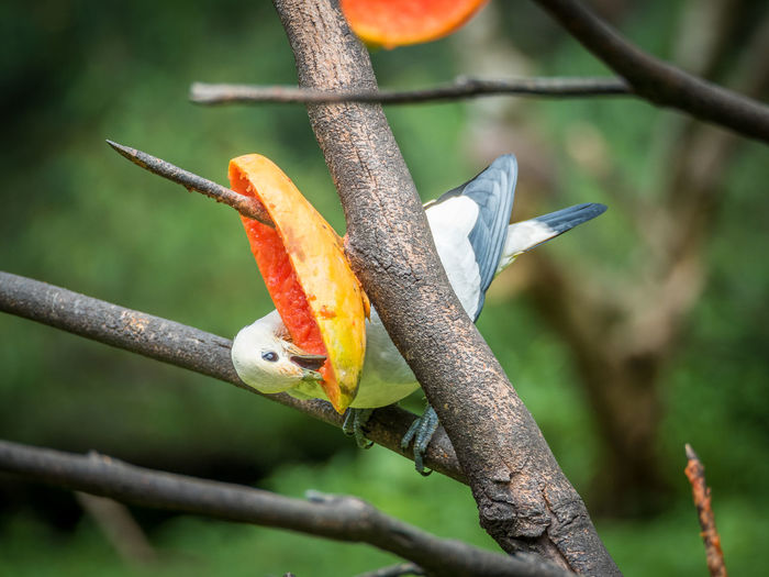 Beauty In Nature Blue Branch Close-up Imperial Pigeon Multi Colored Nature Orange Color Pigeon