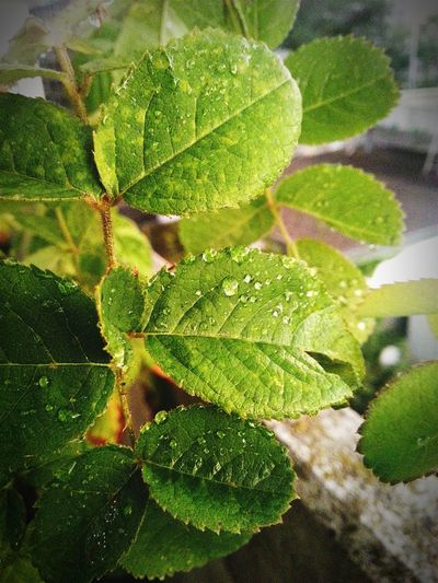 Nature Leaves Green Color Green Leaf, Fresh And Beautiful Fresh Drops Drops Of Water After Rain Life Ecology