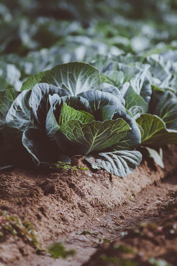 Beauty In Nature Close-up Day Field Food Food And Drink Freshness Green Color Growth Healthy Eating Land Leaf Nature No People Outdoors Plant Plant Part Selective Focus Vegetable Wellbeing