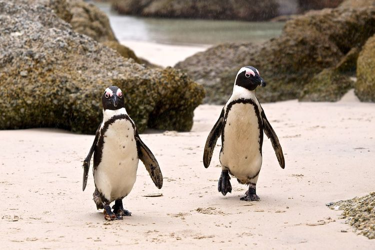Penguins walking on sand at boulders beach