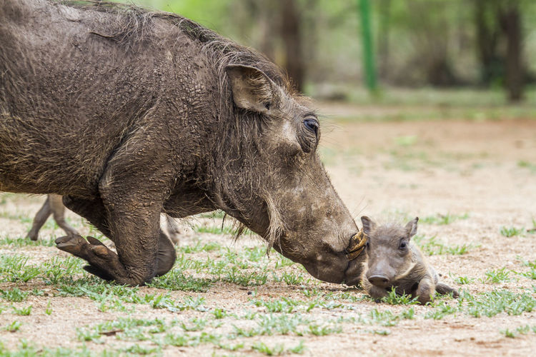 Warthog with young animal on field