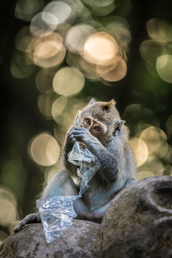 Close-Up Of Monkey Eating Plastic While Sitting On Stone
