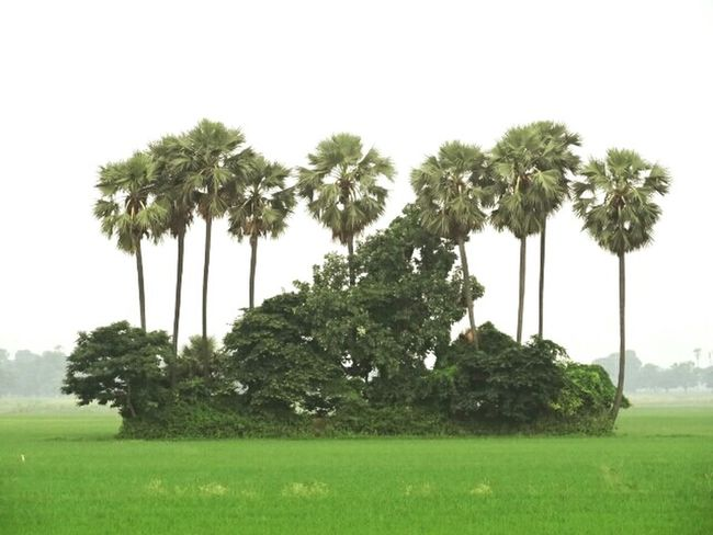 Island of trees in Green sea Beautiful Nature Natural Beauty Trees Green Nature Crops Landscape Beautiful Nature Perfect Shot Island Of Trees Green Sea Fresh On Eyeem  My Favorite Photo The Great Outdoors With Adobe India Bihar ASIA Finding New Frontiers
