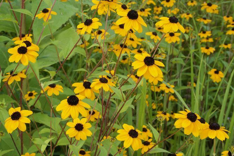 Sonnenhut Sunflower Beauty In Nature Close-up Day Flower Flower Head Growth Heliantheae Nature Outdoors Yellow