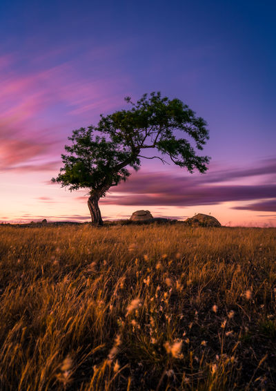 Tree on field against dramatic sky during sunset