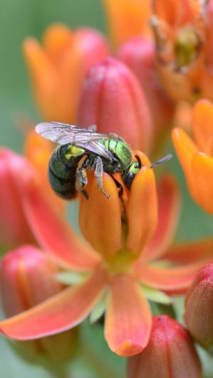 Sweat bee Sweat Bee Flower Pollinator Nectar Insect Animal Wildlife One Animal Flower Nature Close-up Outdoors No People Bee Fragility Freshness