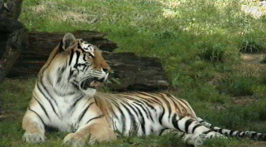 Detroit Zoo Roar Animal Zoo Zoo Animals  Tiger Breathtaking Golden Moments 43 Majestic Majestic Nature Tigger Big Cats Jungle Cat Feline Kitty Love