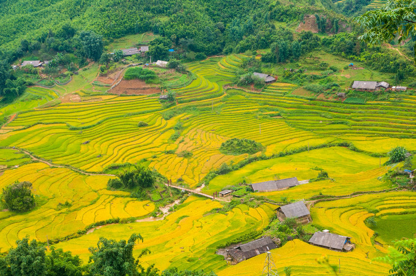 Vietnam Rice Fields Sapa Rice Fields. Sapa, Vietnam Vietnam Aerial View Agriculture Beauty In Nature Crop  Farm Field Landscape Mountain Nature No People Outdoors Patchwork Landscape Rice - Cereal Plant Rice Fields  Rice Fields And Mountains Rice Fields And Water Rice Paddy Rural Scene Scenics Terraced Field Travel Tree