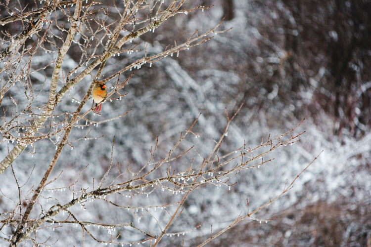 Tree Plant Animal Wildlife One Animal Branch Animals In The Wild Animal Themes Nature Focus On Foreground Cold Temperature No People Animal Snow Day Winter Vertebrate Close-up Perching Bird Outdoors Cardinal