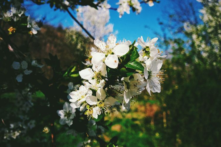 Growth Nature Flower White Color Springtime Blossom Beauty In Nature Tree Freshness Almond Tree No People Flower Head Outdoors Branch Fragility Close-up Day Sky Plum Blossom