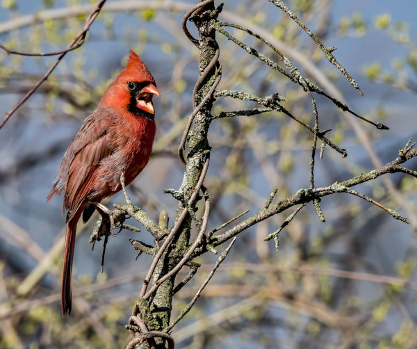 "Northern cardinal..""I said no photos"".... Beak Cardinalis Cardinalis Animal Animal Themes Animal Wildlife Animals In The Wild Avian Bird Branch Cardinal - Bird Cardinalidae Colorful Crested I Said No Photos Male Animal Nature No People One Animal Ornithology  Outdoors Perched Perching Red Redbird Tree"
