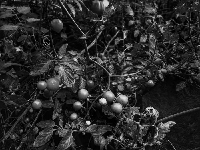 Growth Tomatoes Tomatoes On The Vine Nature Freshness Growing Botany Outdoors Views Scenics Perspective Black And White Beauty In Nature