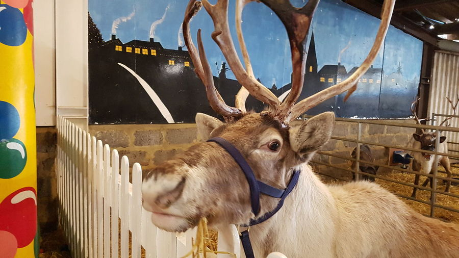 The Reindeer Centre Christmas 2017 Christmastime Christmas Around The World Christmas Spirit 2017 2017 Year 2017 Photo Travel Photography Travelphotography Daytime Daytime Photography DayTimePhotography Reindeer Reindeers Reindeer Close-up Travel Travel And Tourism Travel And Leisure Travel And Photography Christmas 2017 EyeEm Selects Antler Animal Head  Taxidermy No People Day Reindeer American Bison Animal Themes Close-up Indoors