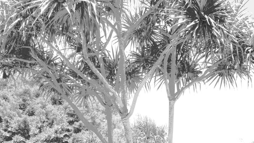 Black And White Black And White Photography Playing With Filters Full Frame Black And White Collection  Black & White Grey Greyscale Tree Tree Trunk Close-up Leaves Tree Branch Palm Tree Tree Trunk Sky Foreground Plant Life