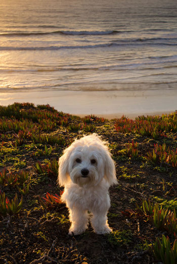 San Francisco How's The Weather Today? Ocean Sunset Enjoying The View Portrait Dog