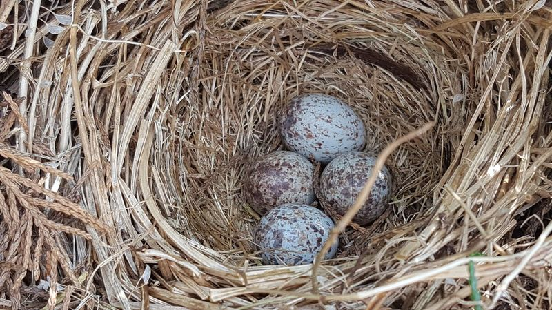 House sparrow eggs Bird Eggs House Sparrow Eggs Animal Egg Animal Nest Animal Themes Animal Wildlife Animals In The Wild Beginnings Bird Bird Nest Close-up Egg Fragility High Angle View Nature Nest New Life No People Outdoors Wildlife Young Animal