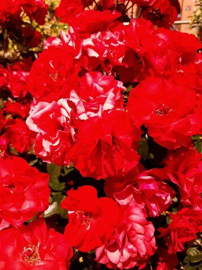Roses Shotongalaxys7edge Nature