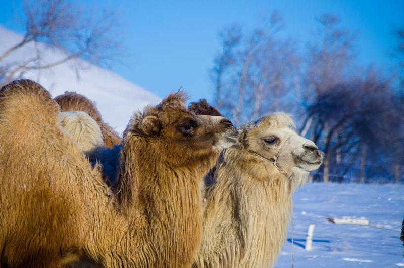 Bactrian camels on snow covered field against sky