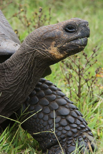 EyeEmNewHere Galapagos Galapagos Islands Animal Wildlife Close-up Giant Tortoise Scales Tortoise