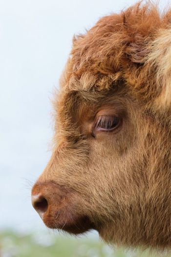 Highland Cattle Domestic Animals Animal Themes Mammal One Animal Livestock Animal Head  Close-up Day No People Outdoors Nature Sky