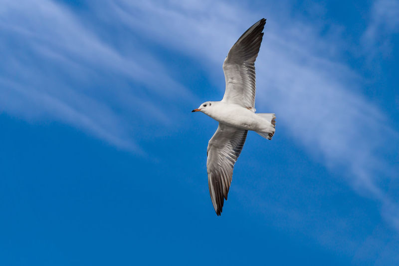 Close-up of a flying Seagull with with outspread wings on a blue sky. Free Freshness Animal Bird Blue Blue Sky Close-up Cloud - Sky Day Flapping Flying Full Length Marine Mid-air Motion Nature No People One Animal Sea Bird Seagull Sky Space Spread Wings Vertebrate Wings