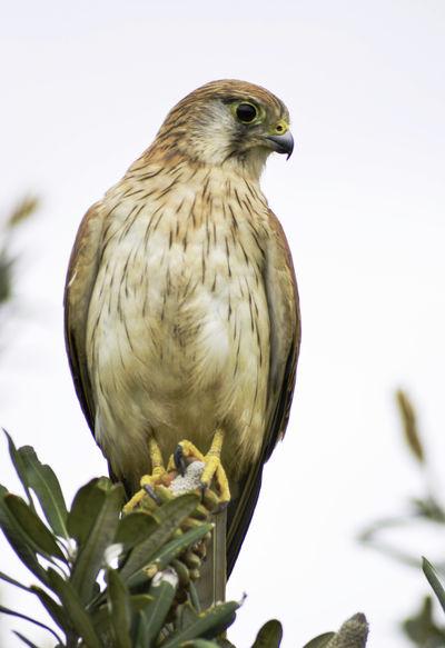 Hunter Nankeen Kestrel Wildlife & Nature Wildlife Photography Animal Wildlife Beauty In Nature Bird Birdofprey Wildlife