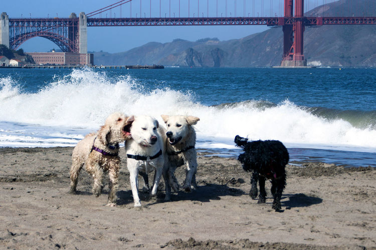 Dogs on Crissy Field Beach in San Francisco, USA Outdoors No People Bridge - Man Made Structure Domestic Domestic Animals Animal Pets Canine Dog Animal Themes Water Travel Destinations Tourist Attraction  Sea International Orange Golden Gate Bridge Crissy Field Beach Crissy Field Bridge Breaking Waves Breaking Wave Beach Photography Beach USA SF San Francisco California Dog On The Beach Dogs On The Beach