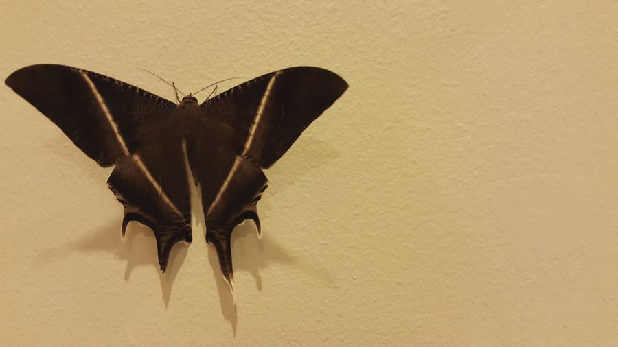The moth Insect